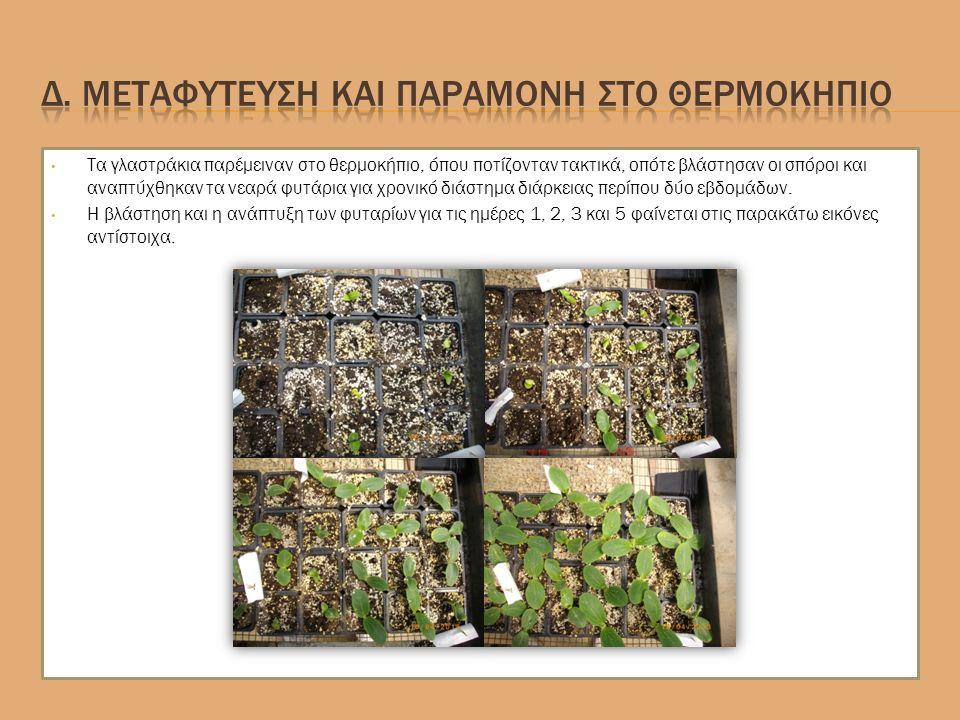 Τα γλαστράκια παρέμειναν στο θερμοκήπιο, όπου ποτίζονταν τακτικά, οπότε βλάστησαν οι σπόροι και αναπτύχθηκαν τα νεαρά φυτάρια για χρονικό διάστημα διάρκειας περίπου δύο εβδομάδων.