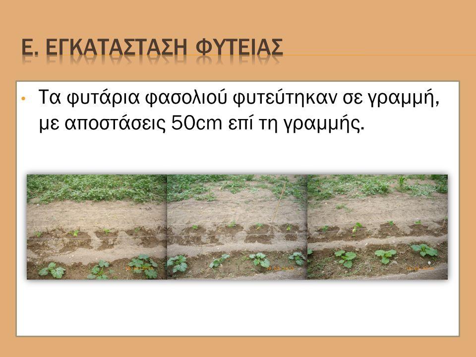 Τα φυτάρια φασολιού φυτεύτηκαν σε γραμμή, με αποστάσεις 50cm επί τη γραμμής.