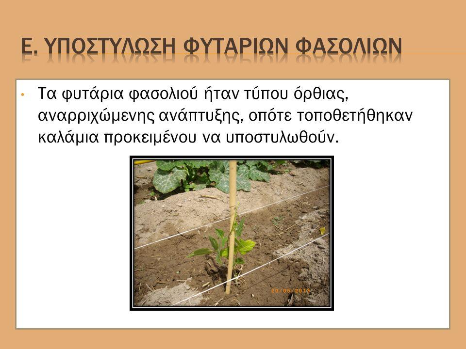 Τα φυτάρια φασολιού ήταν τύπου όρθιας, αναρριχώμενης ανάπτυξης, οπότε τοποθετήθηκαν καλάμια προκειμένου να υποστυλωθούν.