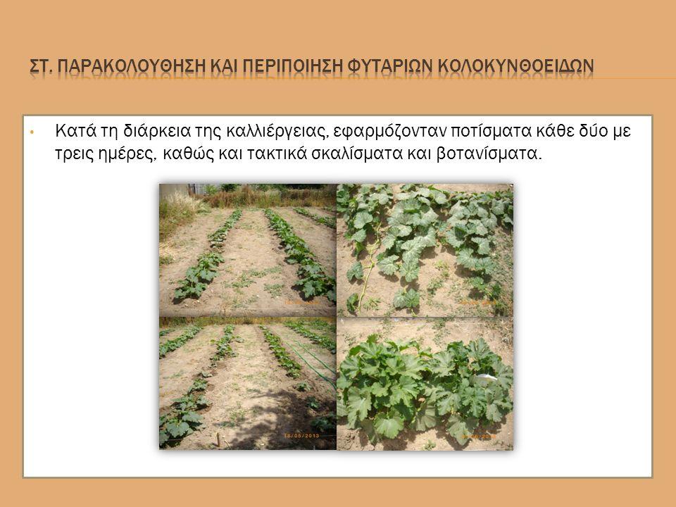 Κατά τη διάρκεια της καλλιέργειας, εφαρμόζονταν ποτίσματα κάθε δύο με τρεις ημέρες, καθώς και τακτικά σκαλίσματα και βοτανίσματα.