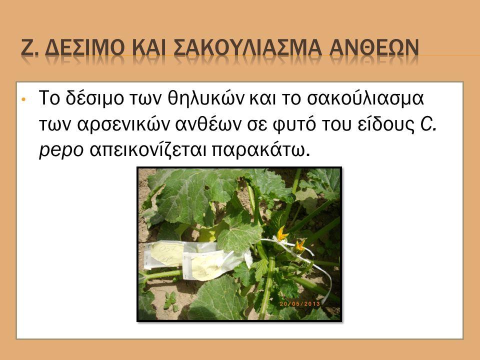 Το δέσιμο των θηλυκών και το σακούλιασμα των αρσενικών ανθέων σε φυτό του είδους C.