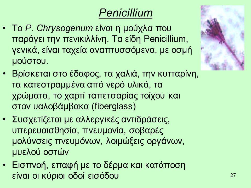27 Penicillium Το P. Chrysogenum είναι η μούχλα που παράγει την πενικιλλίνη.