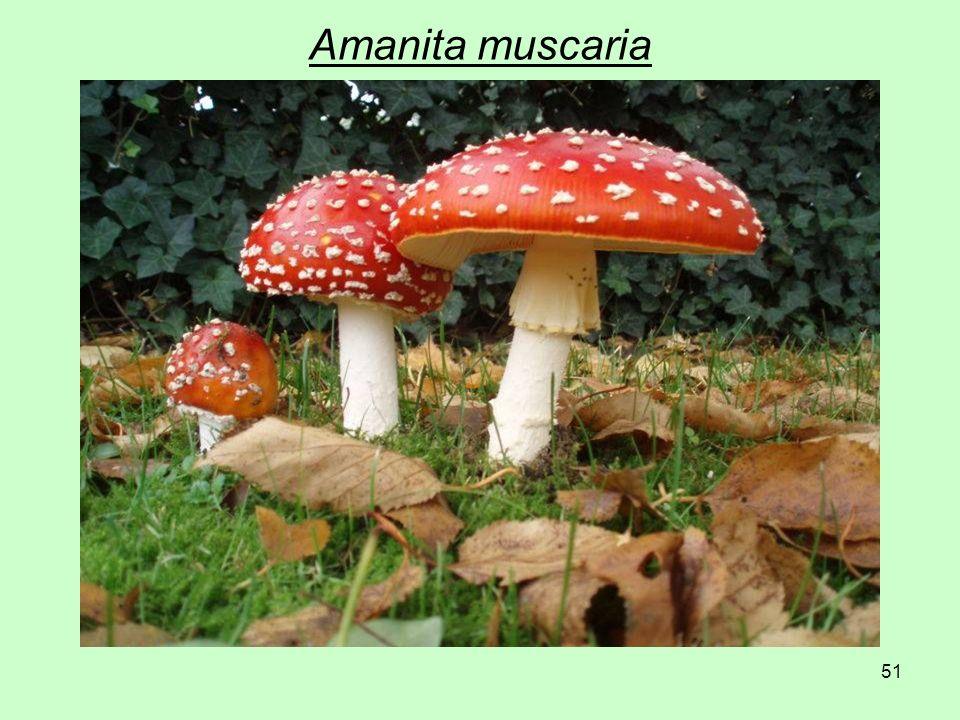 51 Amanita muscaria