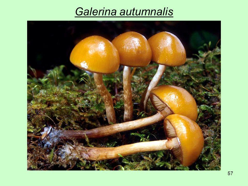 57 Galerina autumnalis