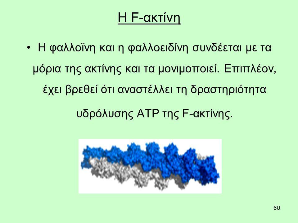 60 Η F-ακτίνη Η φαλλοϊνη και η φαλλοειδίνη συνδέεται με τα μόρια της ακτίνης και τα μονιμοποιεί.