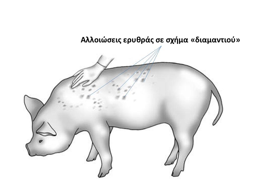Αλλοιώσεις ερυθράς σε σχήμα «διαμαντιού»