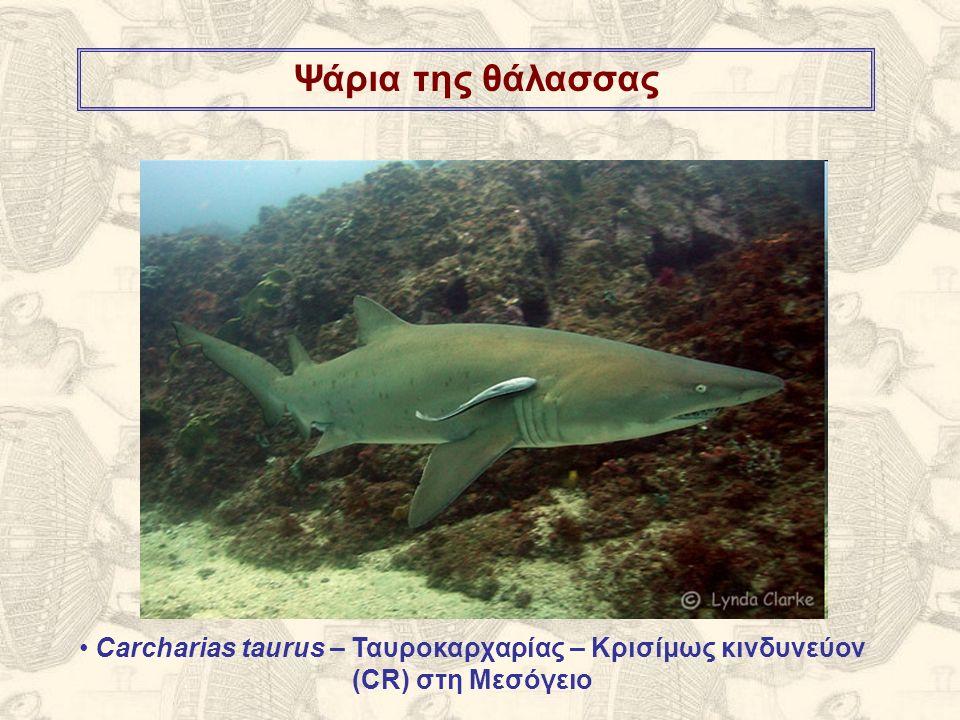Ψάρια της θάλασσας Carcharias taurus – Ταυροκαρχαρίας – Κρισίμως κινδυνεύον (CR) στη Μεσόγειο
