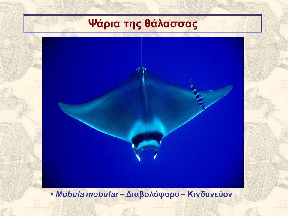 Ψάρια της θάλασσας Mobula mobular – Διαβολόψαρο – Κινδυνεύον