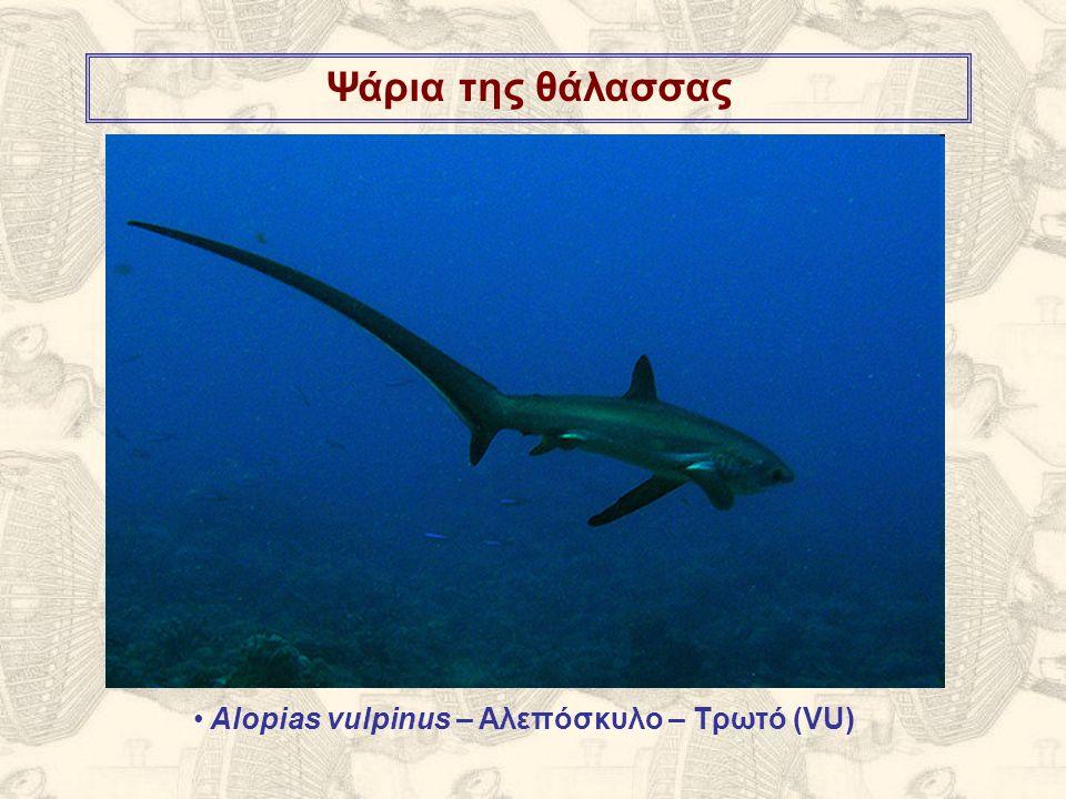 Ψάρια της θάλασσας Alopias vulpinus – Αλεπόσκυλο – Τρωτό (VU)