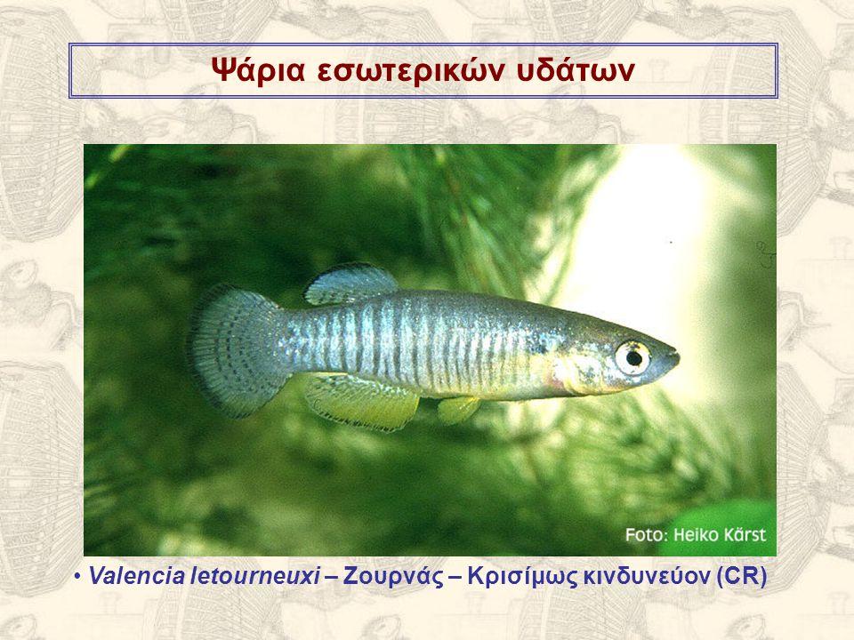 Ψάρια εσωτερικών υδάτων Valencia letourneuxi – Ζουρνάς – Κρισίμως κινδυνεύον (CR)