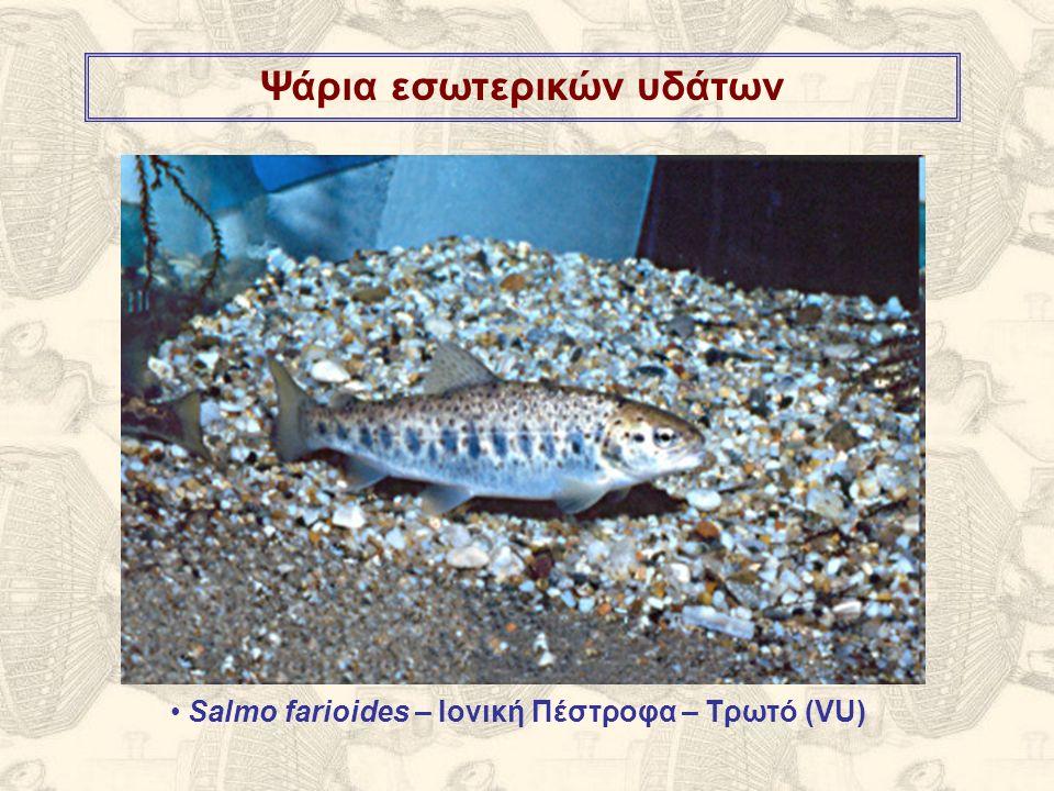 Ψάρια εσωτερικών υδάτων Salmo farioides – Ιονική Πέστροφα – Τρωτό (VU)