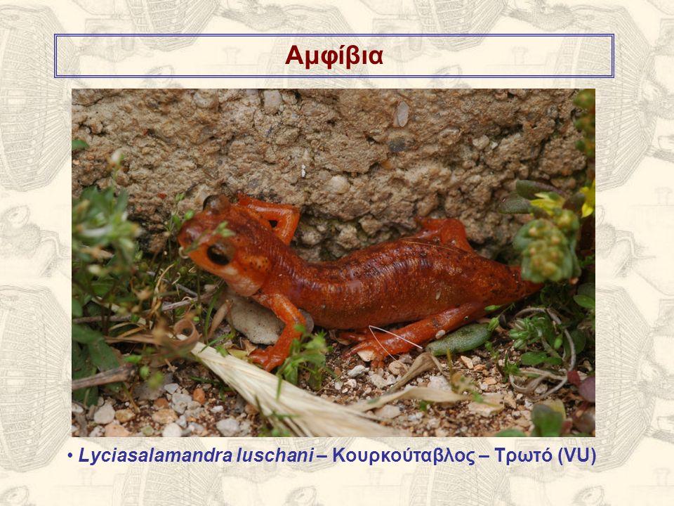 Αμφίβια Lyciasalamandra luschani – Κουρκούταβλος – Τρωτό (VU)