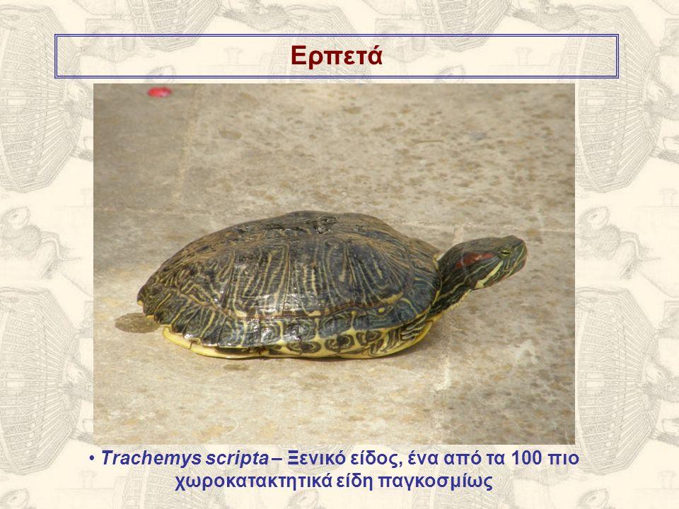 Ερπετά Trachemys scripta – Ξενικό είδος, ένα από τα 100 πιο χωροκατακτητικά είδη παγκοσμίως