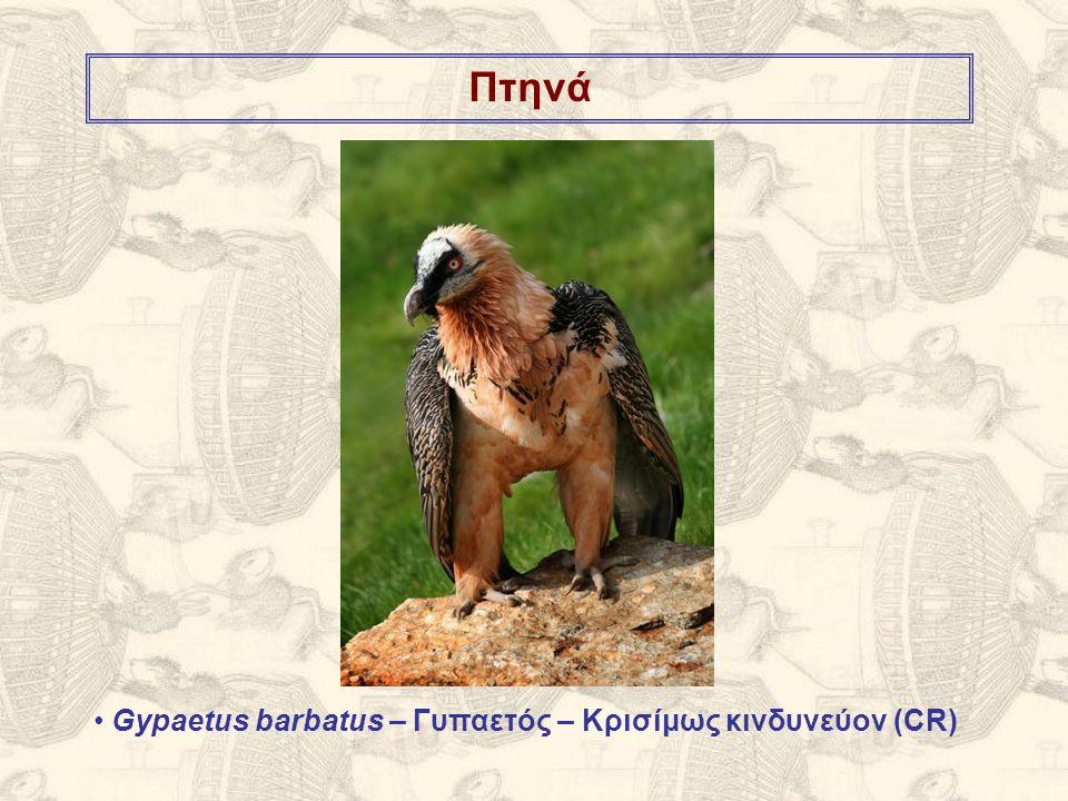 Πτηνά Gypaetus barbatus – Γυπαετός – Κρισίμως κινδυνεύον (CR)