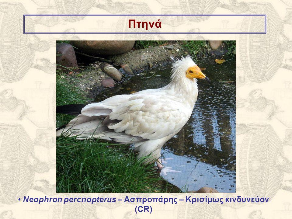 Πτηνά Neophron percnopterus – Ασπροπάρης – Κρισίμως κινδυνεύον (CR)