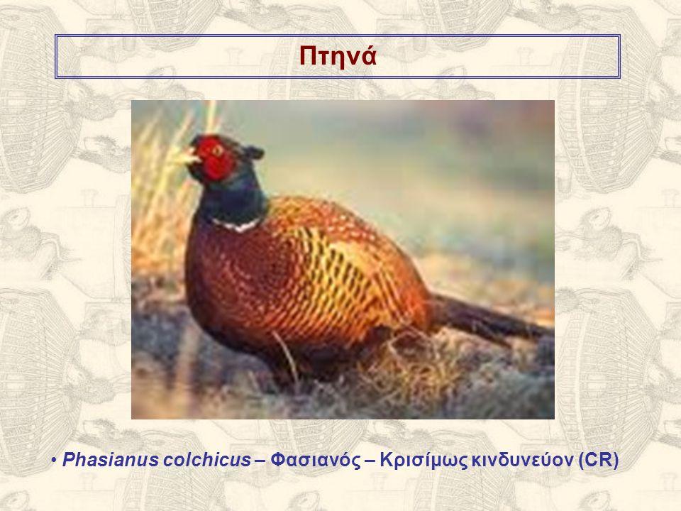 Πτηνά Phasianus colchicus – Φασιανός – Κρισίμως κινδυνεύον (CR)