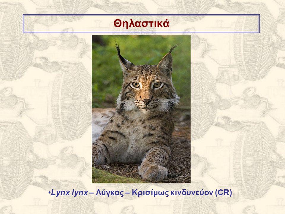 Θηλαστικά Lynx lynx – Λύγκας – Κρισίμως κινδυνεύον (CR)
