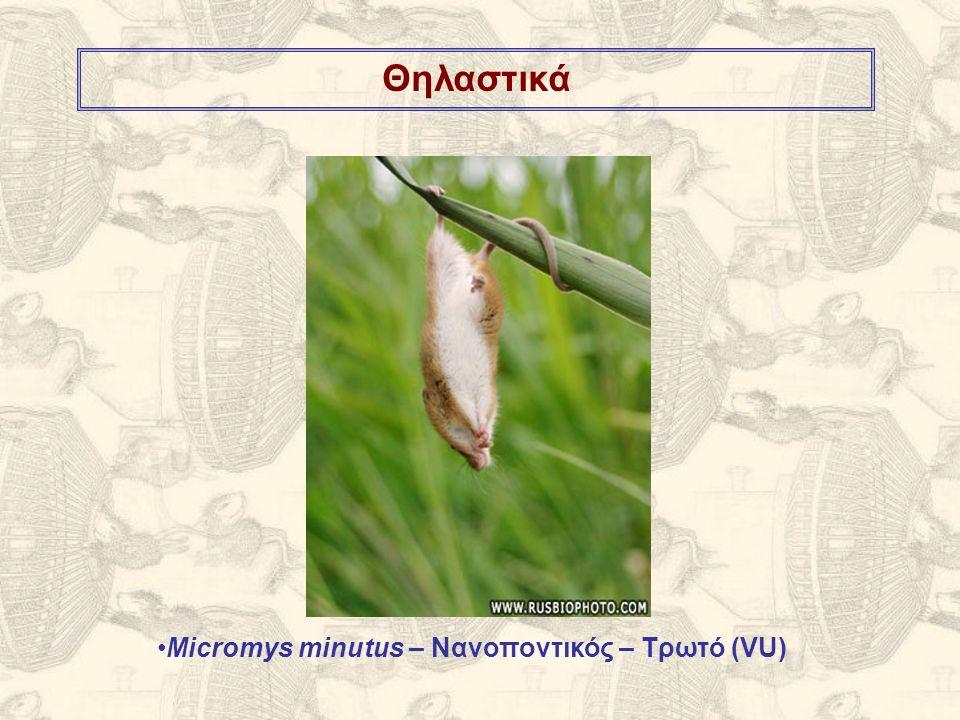 Θηλαστικά Micromys minutus – Νανοποντικός – Τρωτό (VU)