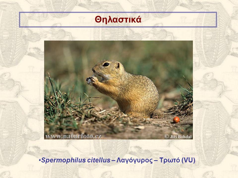 Θηλαστικά Spermophilus citellus – Λαγόγυρος – Τρωτό (VU)