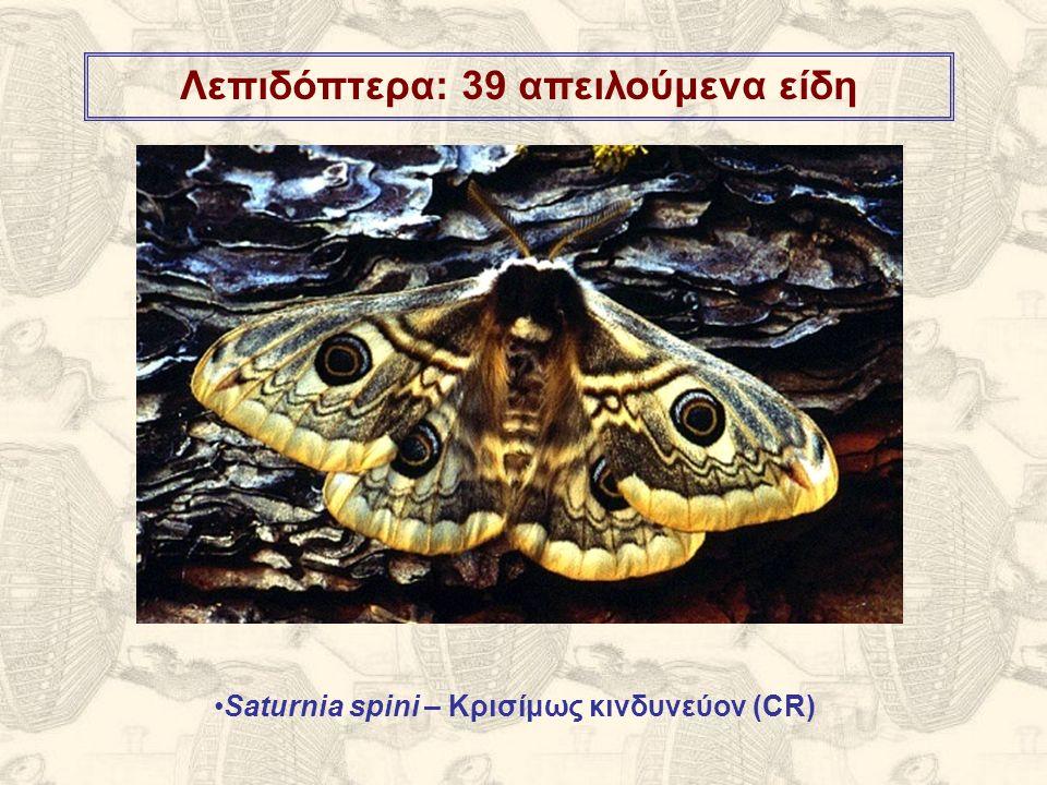 Λεπιδόπτερα: 39 απειλούμενα είδη Saturnia spini – Κρισίμως κινδυνεύον (CR)