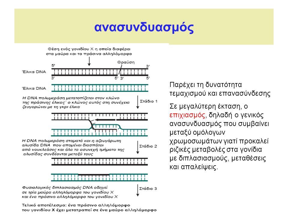 ανασυνδυασμός Παρέχει τη δυνατότητα τεμαχισμού και επανασύνδεσης Σε μεγαλύτερη έκταση, ο επιχιασμός, δηλαδή ο γενικός ανασυνδυασμός που συμβαίνει μεταξύ ομόλογων χρωμοσωμάτων γιατί προκαλεί ριζικές μεταβολές στα γονίδια με διπλασιασμούς, μεταθέσεις και απαλείψεις.
