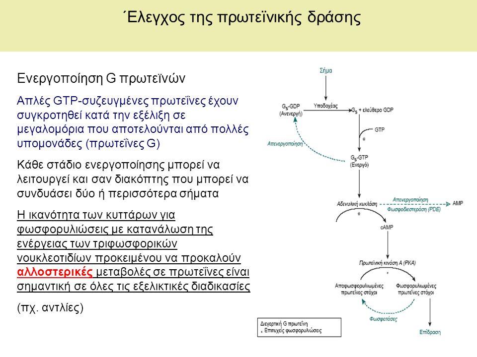 ΄Ελεγχος της πρωτεïνικής δράσης Ενεργοποίηση G πρωτεïνών Απλές GTP-συζευγμένες πρωτεΐνες έχουν συγκροτηθεί κατά την εξέλιξη σε μεγαλομόρια που αποτελούνται από πολλές υπομονάδες (πρωτεΐνες G) Κάθε στάδιο ενεργοποίησης μπορεί να λειτουργεί και σαν διακόπτης που μπορεί να συνδυάσει δύο ή περισσότερα σήματα Η ικανότητα των κυττάρων για φωσφορυλιώσεις με κατανάλωση της ενέργειας των τριφωσφορικών νουκλεοτιδίων προκειμένου να προκαλούν αλλοστερικές μεταβολές σε πρωτεΐνες είναι σημαντική σε όλες τις εξελικτικές διαδικασίες (πχ.