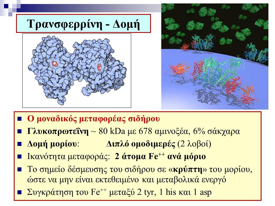 Τρανσφερρίνη - Δομή Ο μοναδικός μεταφορέας σιδήρου Γλυκοπρωτεΐνη ~ 80 kDa με 678 αμινοξέα, 6% σάκχαρα Δομή μορίου: Διπλό ομοδιμερές (2 λοβοί) Ικανότητα μεταφοράς: 2 άτομα Fe ++ ανά μόριο Το σημείο δέσμευσης του σιδήρου σε «κρύπτη» του μορίου, ώστε να μην είναι εκτεθειμένο και μεταβολικά ενεργό Συγκράτηση του Fe ++ μεταξύ 2 tyr, 1 his και 1 asp