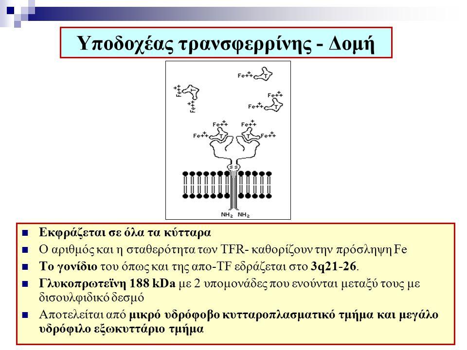 Υποδοχέας τρανσφερρίνης - Δομή Εκφράζεται σε όλα τα κύτταρα Ο αριθμός και η σταθερότητα των ΤFR- καθορίζουν την πρόσληψη Fe Το γονίδιο του όπως και της απo-TF εδράζεται στο 3q21-26.