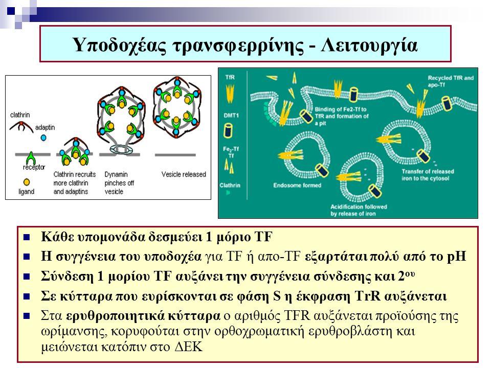 Υποδοχέας τρανσφερρίνης - Λειτουργία Κάθε υπομονάδα δεσμεύει 1 μόριο TF Η συγγένεια του υποδοχέα για TF ή απo-TF εξαρτάται πολύ από το pH Σύνδεση 1 μορίου TF αυξάνει την συγγένεια σύνδεσης και 2 ου Σε κύτταρα που ευρίσκονται σε φάση S η έκφραση ΤrR αυξάνεται Στα ερυθροποιητικά κύτταρα ο αριθμός TFR αυξάνεται προϊούσης της ωρίμανσης, κορυφούται στην ορθοχρωματική ερυθροβλάστη και μειώνεται κατόπιν στο ΔΕΚ