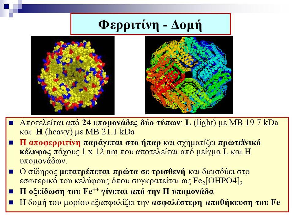 Φερριτίνη - Δομή Αποτελείται από 24 υπομονάδες δύο τύπων: L (light) με ΜΒ 19.7 kDa και H (heavy) με ΜΒ 21.1 kDa Η αποφερριτίνη παράγεται στο ήπαρ και σχηματίζει πρωτεϊνικό κέλυφος πάχους 1 x 12 nm που αποτελείται από μείγμα L και H υπομονάδων.