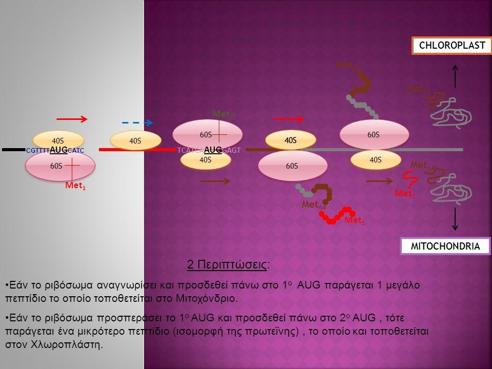 40S 60S 40S 60S 40S 60S 40S Met 1 Met 64 CHLOROPLAST MITOCHONDRIA 40S Met 31 Met 64 Met 1 Met 64 CGTTTT AUG CATC TCATCA AUG GAGT 2 Περιπτώσεις: Εάν το ριβόσωμα αναγνωρίσει και προσδεθεί πάνω στο 1 ο AUG παράγεται 1 μεγάλο πεπτίδιο το οποίο τοποθετείται στο Μιτοχόνδριο.