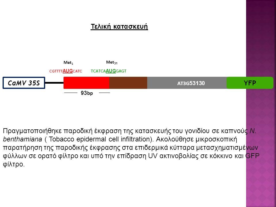 AT3G 53130 CaMV 35SYFP 93 bp Met 1 Met 31 CGTTTT AUG CATC TCATCA AUG GAGT Πραγματοποιήθηκε παροδική έκφραση της κατασκευής του γονιδίου σε καπνούς N.