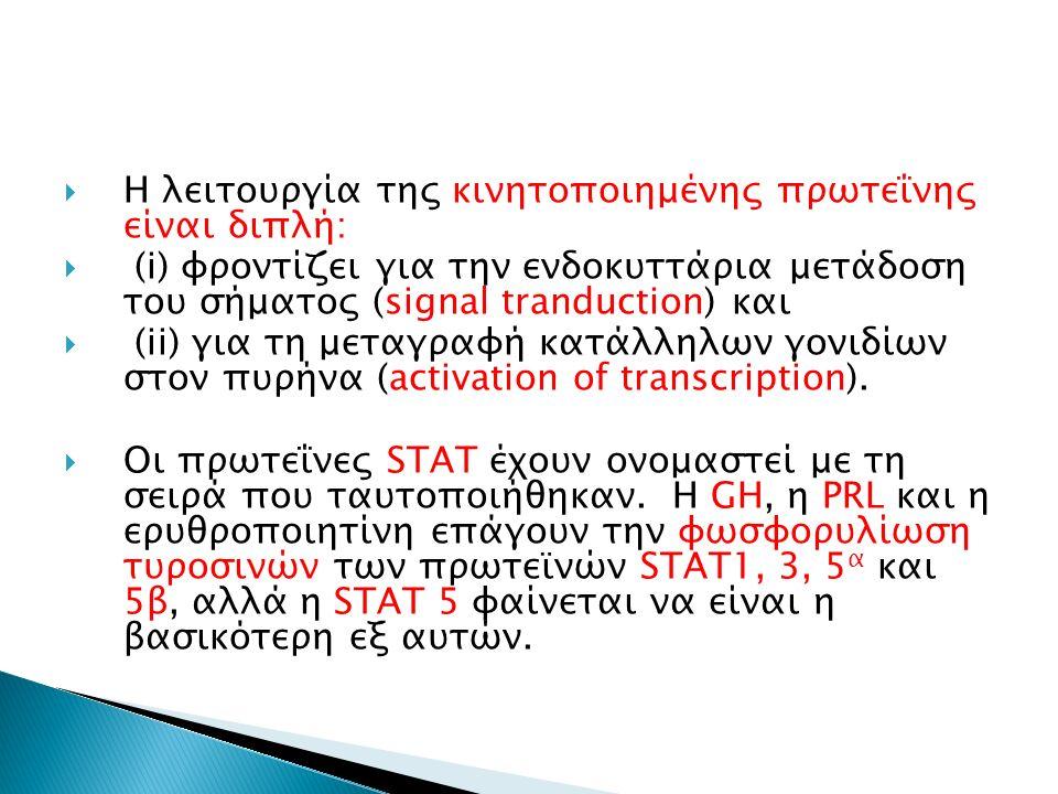  Η λειτουργία της κινητοποιημένης πρωτεΐνης είναι διπλή:  (i) φροντίζει για την ενδοκυττάρια μετάδοση του σήματος (signal tranduction) και  (ii) για τη μεταγραφή κατάλληλων γονιδίων στον πυρήνα (activation of transcription).