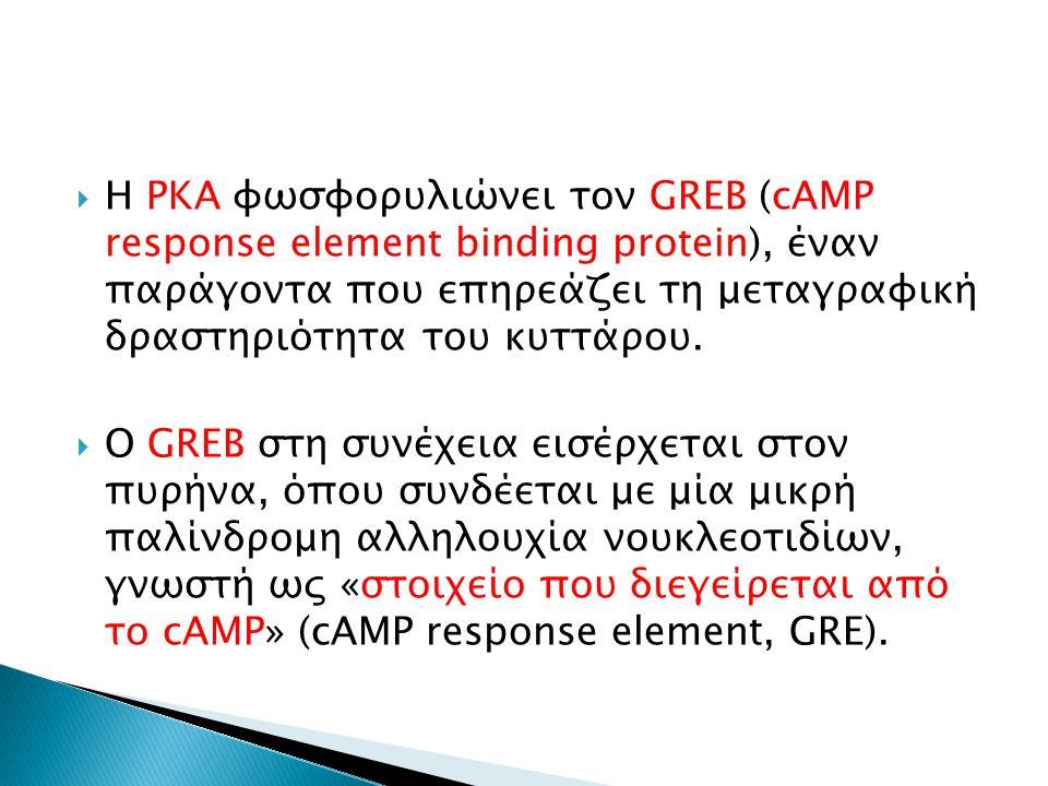  Η PKA φωσφορυλιώνει τον GREB (cAMP response element binding protein), έναν παράγοντα που επηρεάζει τη μεταγραφική δραστηριότητα του κυττάρου.