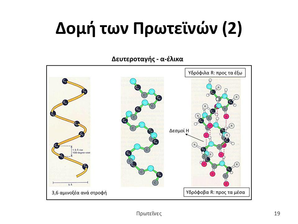 Δομή των Πρωτεϊνών (2) Πρωτεΐνες19
