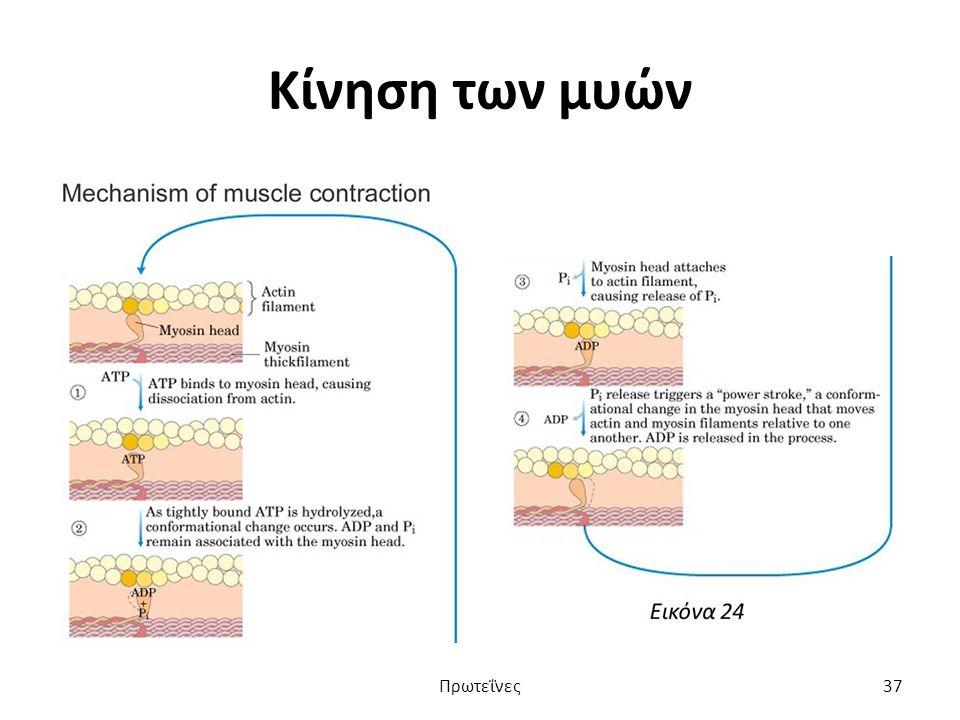 Κίνηση των μυών Πρωτεΐνες37
