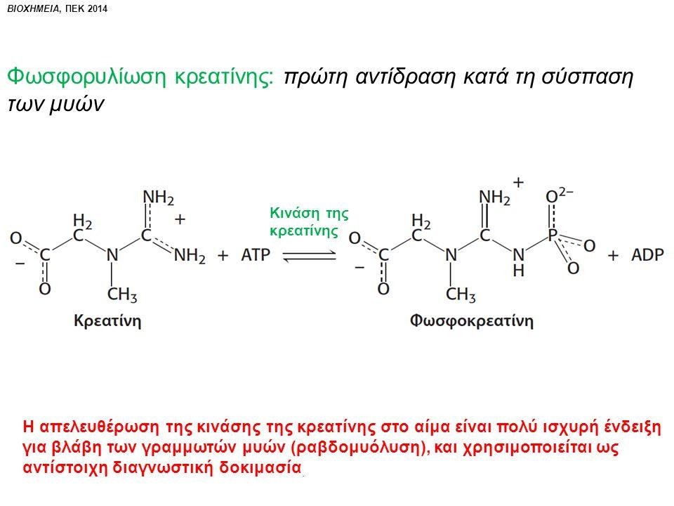 Φωσφορυλίωση κρεατίνης: πρώτη αντίδραση κατά τη σύσπαση των μυών Κινάση της κρεατίνης Η απελευθέρωση της κινάσης της κρεατίνης στο αίμα είναι πολύ ισχυρή ένδειξη για βλάβη των γραμμωτών μυών (ραβδομυόλυση), και χρησιμοποιείται ως αντίστοιχη διαγνωστική δοκιμασία.