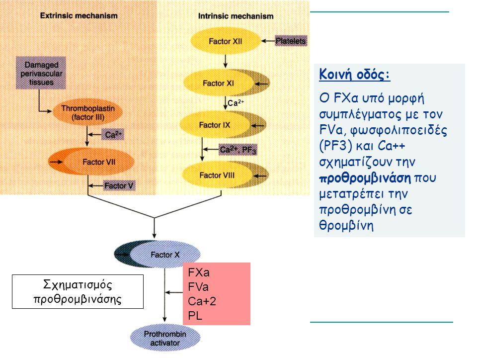 Κοινή οδός: Ο FΧα υπό μορφή συμπλέγματος με τον FVa, φωσφολιποειδές (PF3) και Ca++ σχηματίζουν την προθρομβινάση που μετατρέπει την προθρομβίνη σε θρομβίνη Σχηματισμός προθρομβινάσης Ca 2+ FXa FVa Ca+2 PL
