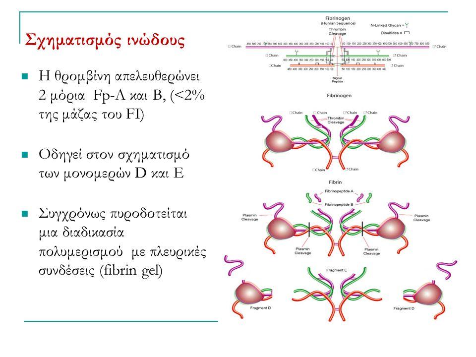 Σχηματισμός ινώδους Η θρομβίνη απελευθερώνει 2 μόρια Fp-Α και Β, (<2% της μάζας του FI) Οδηγεί στον σχηματισμό των μονομερών D και Ε Συγχρόνως πυροδοτείται μια διαδικασία πολυμερισμού με πλευρικές συνδέσεις (fibrin gel)