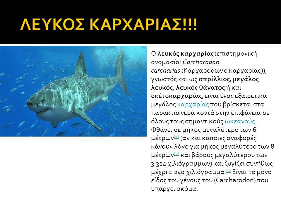 Ο λευκός καρχαρίας (επιστημονική ονομασία: Carcharodon carcharias (Καρχαρόδων ο καρχαρίας)), γνωστός και ως σπρίλλιος, μεγάλος λευκός, λευκός θάνατος ή και σκέτοκαρχαρίας, είναι ένας εξαιρετικά μεγάλος καρχαρίας που βρίσκεται στα παράκτια νερά κοντά στην επιφάνεια σε όλους τους σημαντικούς ωκεανούς.