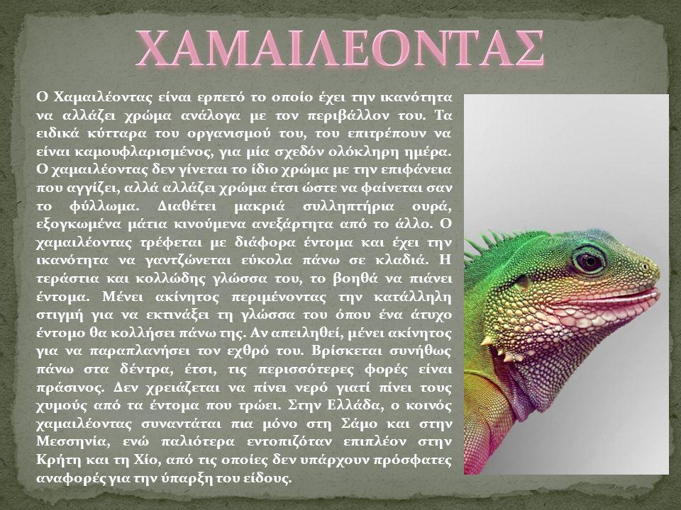Ο Χαμαιλέοντας είναι ερπετό το οποίο έχει την ικανότητα να αλλάζει χρώμα ανάλογα με τον περιβάλλον του.