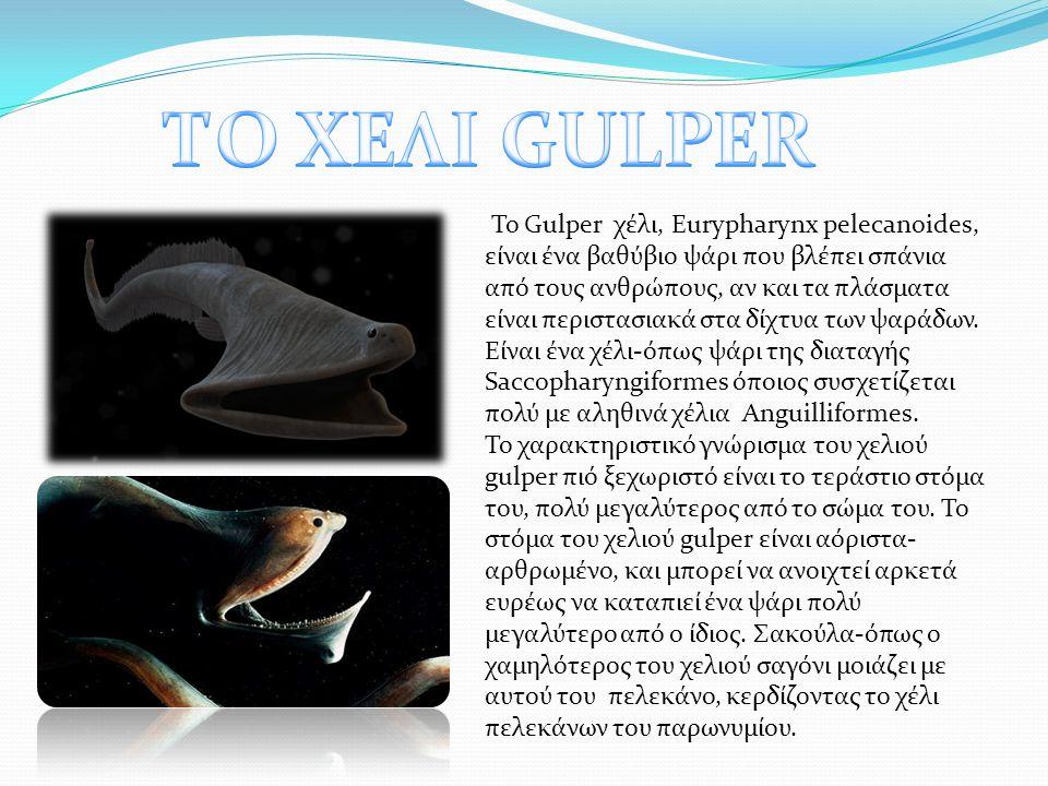 Το Gulper χέλι, Eurypharynx pelecanoides, είναι ένα βαθύβιο ψάρι που βλέπει σπάνια από τους ανθρώπους, αν και τα πλάσματα είναι περιστασιακά στα δίχτυα των ψαράδων.