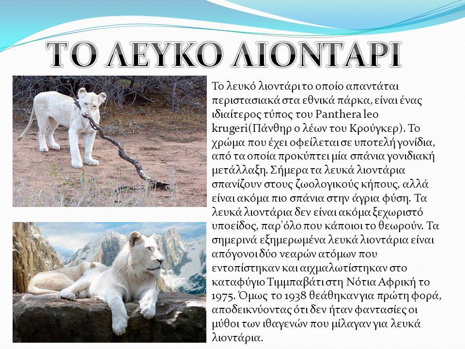 Το λευκό λιοντάρι το οποίο απαντάται περιστασιακά στα εθνικά πάρκα, είναι ένας ιδιαίτερος τύπος του Panthera leo krugeri(Πάνθηρ ο λέων του Κρούγκερ).