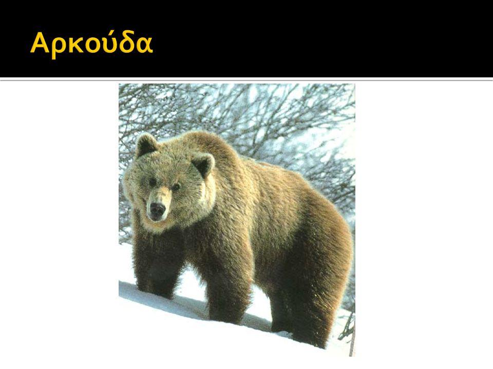 Λεοπάρδαλη Αμούρ: Συναντάται στην νοτιοανατολική Ρωσία και ο πληθυσμός τους δεν ξεπερνά τους 19-26 ενήλικες και 5-6 νεογνά.