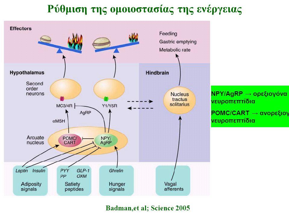 Badman,et al; Science 2005 Ρύθμιση της ομοιοστασίας της ενέργειας NPY/AgRP → ορεξιογόνα νευροπεπτίδια POMC/CART → ανορεξιογόνα νευροπεπτίδια