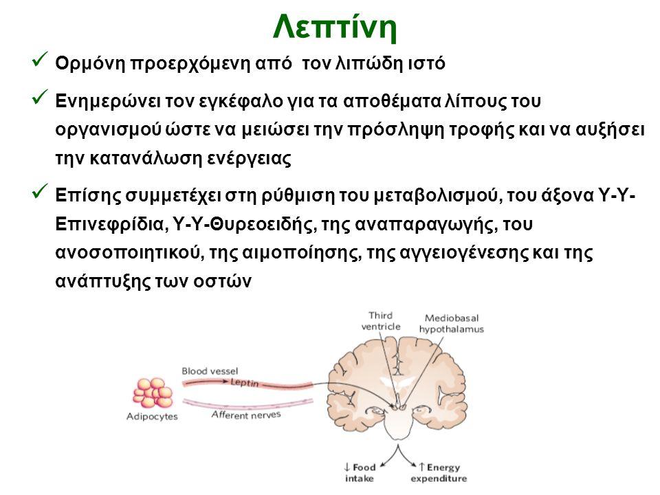 Λεπτίνη Ορμόνη προερχόμενη από τον λιπώδη ιστό Ενημερώνει τον εγκέφαλο για τα αποθέματα λίπους του οργανισμού ώστε να μειώσει την πρόσληψη τροφής και να αυξήσει την κατανάλωση ενέργειας Επίσης συμμετέχει στη ρύθμιση του μεταβολισμού, του άξονα Υ-Υ- Επινεφρίδια, Υ-Υ-Θυρεοειδής, της αναπαραγωγής, του ανοσοποιητικού, της αιμοποίησης, της αγγειογένεσης και της ανάπτυξης των οστών