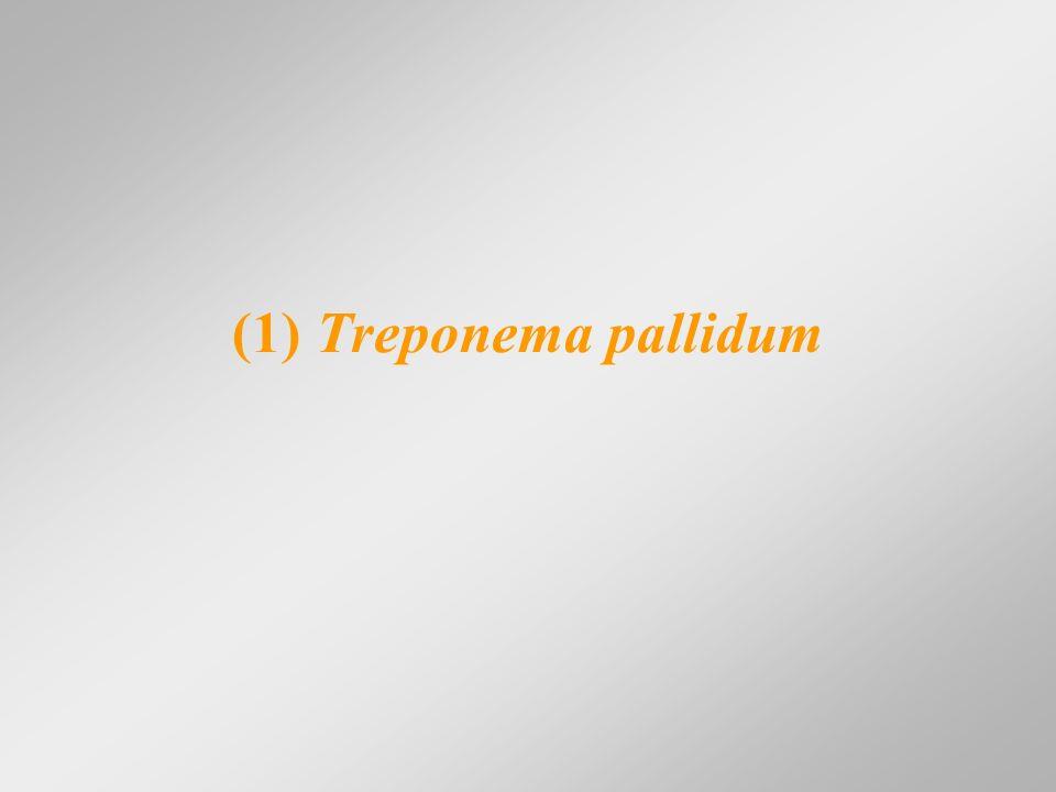 Treponema pallidum (ωχρά σπειροχαίτη) Συγγενής Σύφιλη - Μετάδοση στο έμβρυο: μετά τον 4ο μήνα της κύησης - Ενδομήτριος θάνατος ή θάνατος μετά τον τοκετό Κλινικές εκδηλώσεις Χαρακτηριστικές Δυσπλασίες (οδόντες Hutchinson, εφιππιοειδής μύτη, ολύμπιο μέτωπο, κύρτωση κνήμης) Πρώιμες Κλινικές Εκδηλώσεις (τα πρώτα 2 χρόνια) (ρινίτιδα, κηλιδοβλατιδώδες εξάνθημα, ίκτερος, σπληνομεγαλία, σπειραματονεφρίτιδα) Όψιμες Κλινικές Εκδηλώσεις (αμφοτερόπλευρη κερατίτιδα, νευροσύφιλη, ύδραρθρος γόνατος, κώφωση, καρδιαγγειακή σύφιλη)