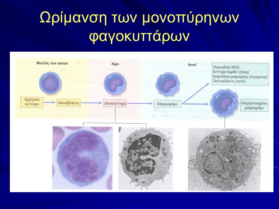 Διήθηση μονοπυρήνων Επιστράτευση μονοκυττάρων από την κυκλοφορία (παρεμφερής με την επιστράτευση των ουδετεροφίλων της οξείας φλεγμονής) Τοπικός πολ/σμός μακροφάγων Καθήλωση μακροφάγων στο σημείο της φλεγμονής