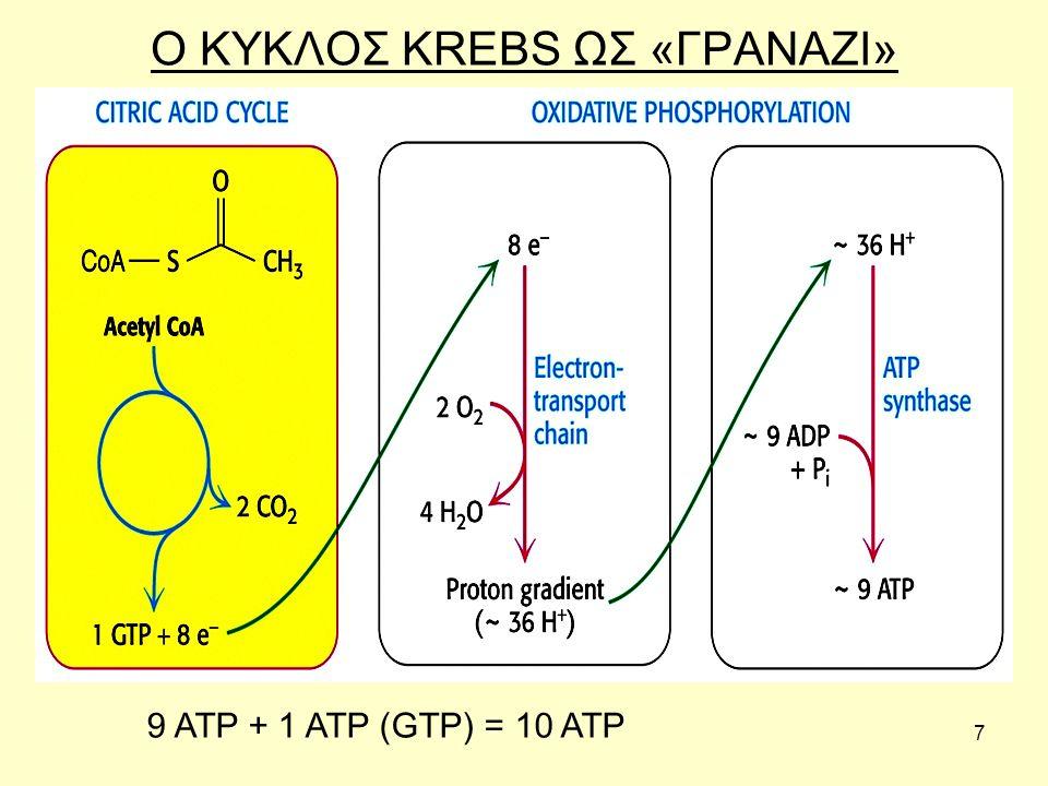 7 Ο ΚΥΚΛΟΣ KREBS ΩΣ «ΓΡΑΝΑΖΙ» 9 ATP + 1 ATP (GTP) = 10 ATP