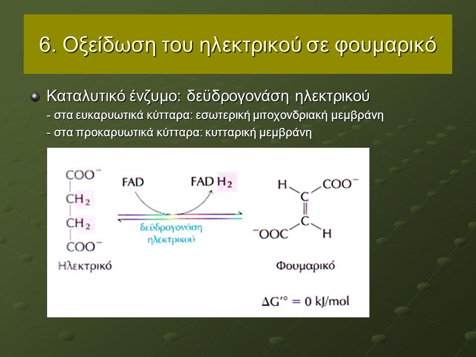 6. Οξείδωση του ηλεκτρικού σε φουμαρικό Καταλυτικό ένζυμο: δεϋδρογονάση ηλεκτρικού - στα ευκαρυωτικά κύτταρα: εσωτερική μιτοχονδριακή μεμβράνη - στα π